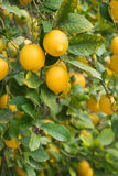 Branches of ripe lemons with buds. Royalty Free Stock Photo