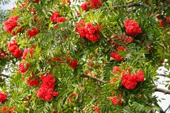 Branches of a ripe mountain ash Stock Images