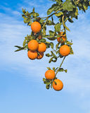Branches with ripe oranges Royalty Free Stock Images