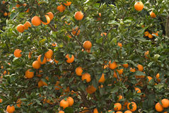Branches with ripe oranges Stock Photo