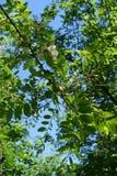 Branches of Robinia pseudoacacia against the sky. Branches of Robinia pseudoacacia against blue sky Stock Photos