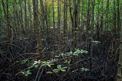 Branches and roots of trees in the mangrove forest.  Stock Photography