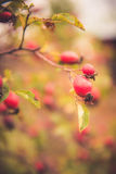 Branches of rose hip Stock Images