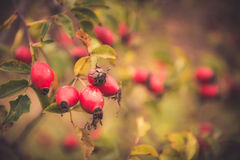 Branches of rose hip. Branches of ripe rose hip (rosa canina) berries in autumn garden royalty free stock images
