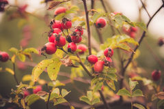 Branches of rose hip Stock Photography