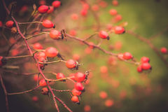 Branches of rose hip Royalty Free Stock Photos
