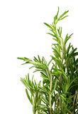 Branches of rosemary Stock Photos