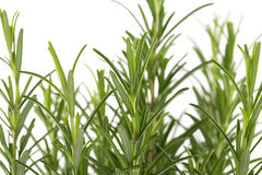 Branches of rosemary on a white background Stock Photography