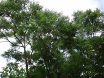 Branches of rosewood stock image