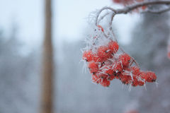 Branches rowan berry covered snow and hoar-frost. Frosty evening in winter forest Stock Photography