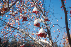 Branches rowan berry covered with snow and hoarfrost. Beautiful blue sky Royalty Free Stock Image