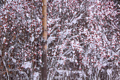Branches rowan berry covered with snow and hoarfrost. Fairy winter forest Royalty Free Stock Photography