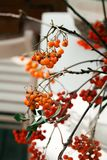 Branches of rowan berry with no leaves. Selected focus, vibrant colors, blurred background royalty free stock image