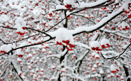 Branches of rowan in the snow Royalty Free Stock Image