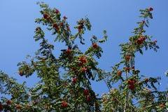 Branches of rowan tree against blue sky. Branches of rowan tree against blue skies Royalty Free Stock Photos