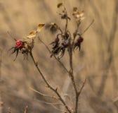 Branches sèches de rose sauvage avec le dernier voix pour de baies image libre de droits