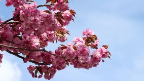 Branches of the sakura blossoms against the blue sky. As background stock video