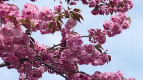 Branches of the sakura blossoms against the blue sky. As background stock footage