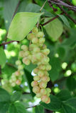 Branches of schisandra with green not ripe berries Stock Photos