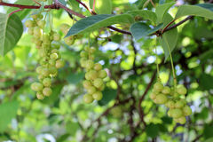 Branches of schisandra with green not ripe berries Royalty Free Stock Photo