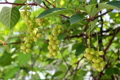 Branches of schisandra with green not ripe berries Royalty Free Stock Photos