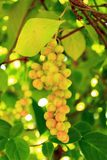 Branches of schisandra with green not ripe berries Stock Photography
