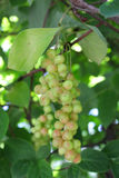 Branches of schisandra with green not ripe berries Stock Photo