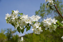 Branches se développantes de pommier au printemps Photographie stock