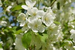 Branches se développantes de pommier au printemps Images libres de droits