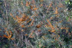 Branches of sea-buckthorn Royalty Free Stock Photography