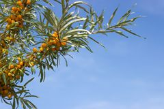 Branches of seabuckthorn. Beautiful background with horizontal branches seabuckthorn and blue sky Royalty Free Stock Photos