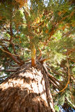 Branches of sequoia, giant tree, forest, forest Royalty Free Stock Images