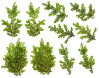 Branches set of an  Yew tree Royalty Free Stock Photo