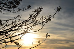 Branches in the setting sun in NH Royalty Free Stock Photo