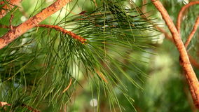 Branches of the Siberian pine (cedar) are moving in the wind stock footage