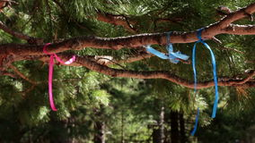 Branches of the Siberian pine (cedar) with pink and blue ribbons stock footage