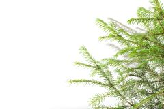 Branches of Siberian spruce on a natural white background stock photography