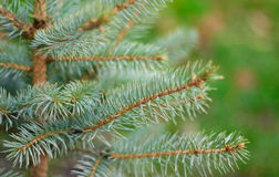 The branches of silver fir. A branches of a silver fir. On blurred bright light green natural background. Soft focus Stock Photos