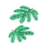 Branches silver spruce vector Stock Images