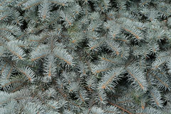 Branches of a silvery fur-tree. Close up Royalty Free Stock Images