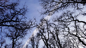 Branches in the Sky. Worm's eye view of the deep blue sky against the dark branches of the trees Royalty Free Stock Photography