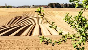 Branches of a small tree with cultivated land with potato in the background. Sunny day in farmland in Oensel south Limburg in the Netherlands Holland royalty free stock photo