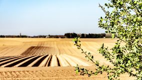 Branches of a small tree with farm cultivated land with potato in the background. Wonderful sunny day on farmland with in-line furrows in Oensel south Limburg stock photos