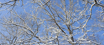 Branches with snow Royalty Free Stock Photo