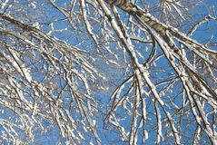 Branches with Snow Royalty Free Stock Photos