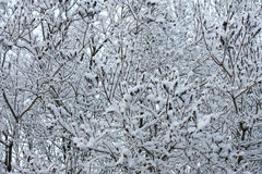 Branches in snow Royalty Free Stock Images