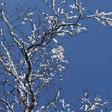 Branches with snow Royalty Free Stock Images