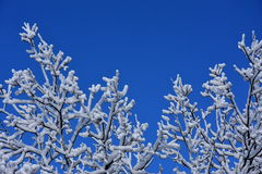 Branches with snow. Branches covered with snow. With clear and blue winter sky for background. Winter scene on the very cold day stock photo