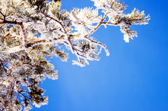 Branches in the snow Royalty Free Stock Photos