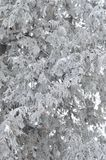 Branches of snow-covered pine tree on a frosty winter afternoon. Natural background stock photography